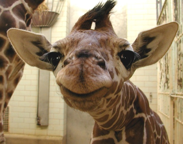 smiling-baby-giraffe