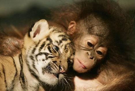 tiger-orangutan