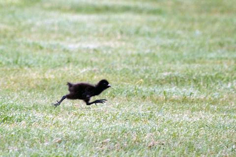 tasmanian native-hen 02