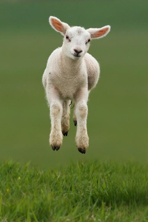 cute_baby_lamb