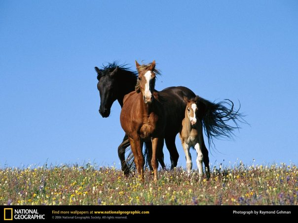 running-horses-three-wild-horse-136241