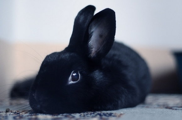 l-Large-black-rabbit